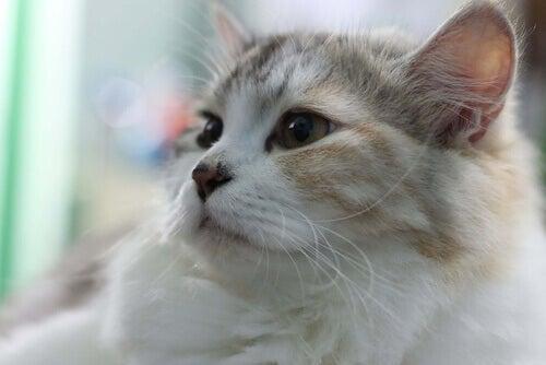 Hoster din kat? Det kan være astma hos katte