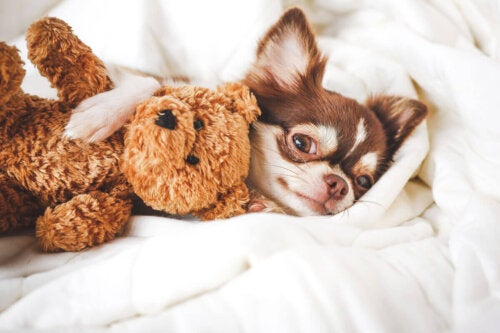 Chihuahua med bamse i seng