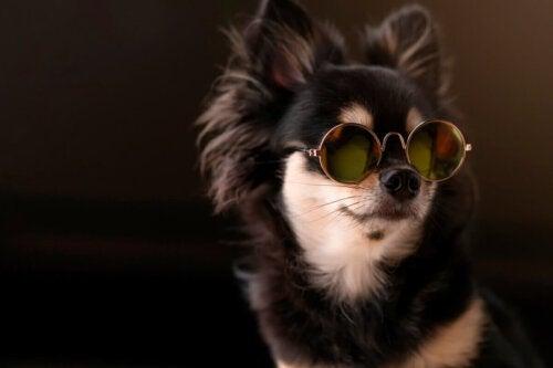 Chihuahua med briller på