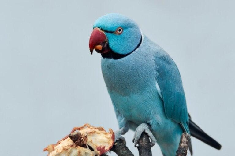 Ved du, om papegøjer kan spise kød?