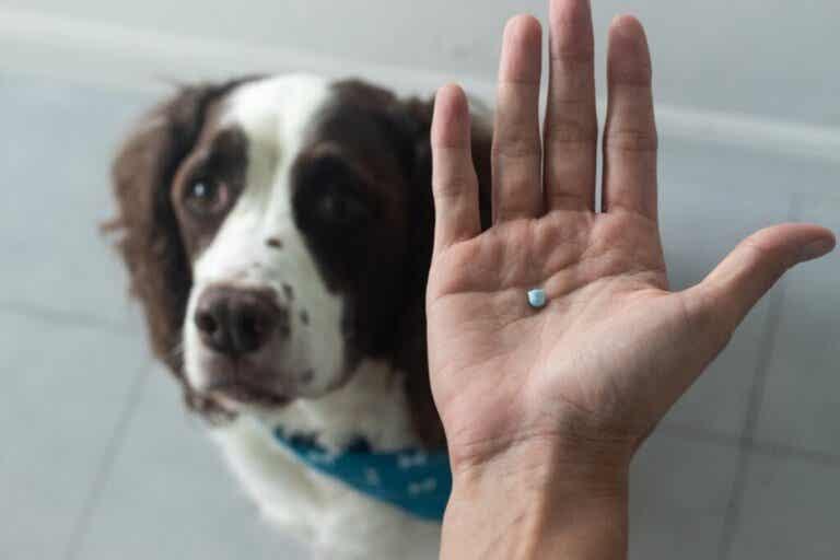 Diclofenac til hunde: Anvendelse og dosering