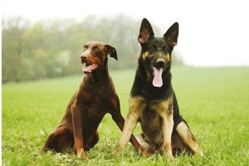 5 forskelle mellem dobermann og schæferhund