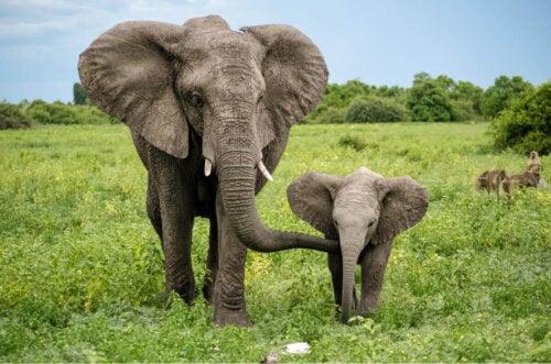 Elefant med unge er eksempel på en af de bedste mødre i dyreriget
