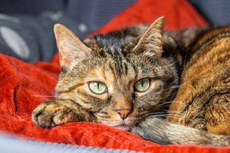 Katte kan også lide af separationsangst