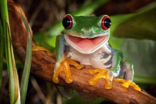 En frø med røde øjne
