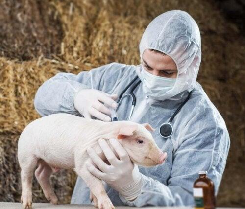 Dyrlæge tjekker for sygdomme hos svin