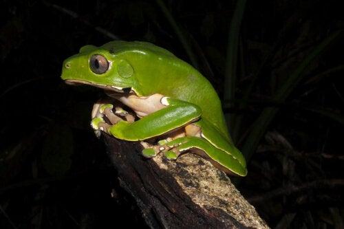 Denne grønne frø trækker vejret gennem huden