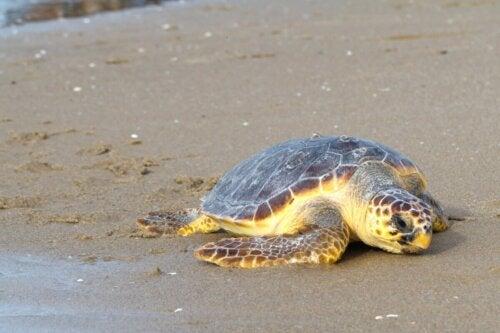 Mange havskildpadder er ofre for forurening