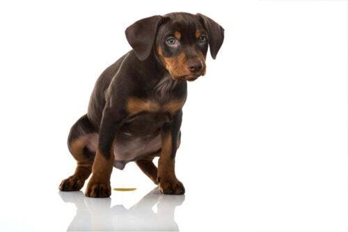 Nogle gange urinerer hunde på gulvet
