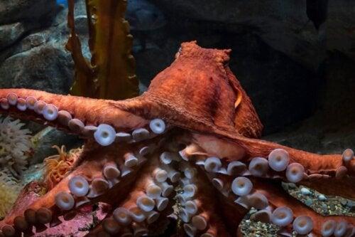 Orange kæmpeblæksprutte