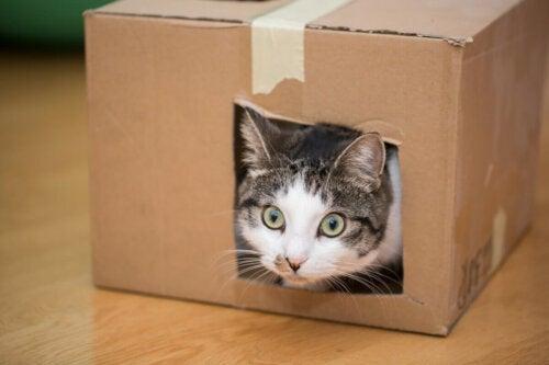 Kat skal føde og gør en kasse klar til det