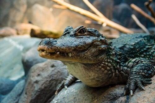 En kinesisk alligator