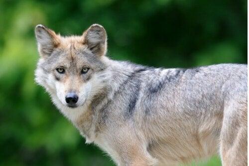Den mexicanske ulv