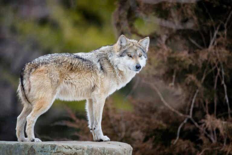 Hvorfor er den mexicanske ulv i fare for at uddø?
