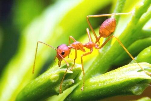 Myre på blad