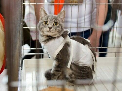 Pasning af en steriliseret kat