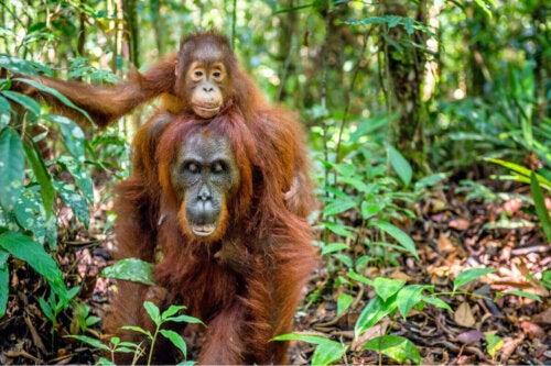 Orangutang med unge på ryggen
