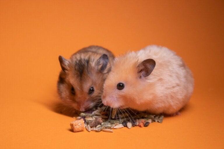 Er det godt at have to hamstere i samme bur?