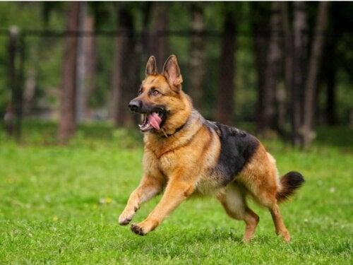 Schæferhund løber på græs