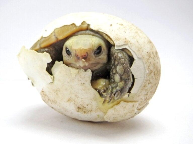 Sådan udklækkes skildpaddeæg