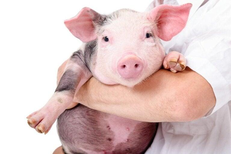 De 10 mest almindelige sygdomme hos svin