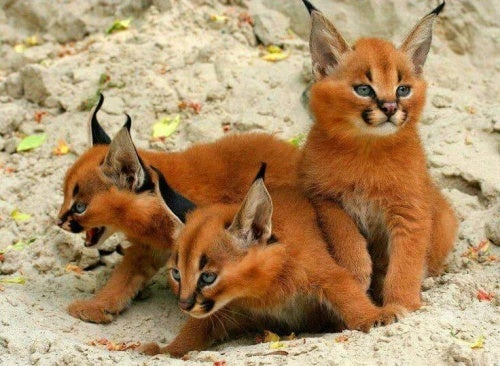 Eläinfaktoja: tiedätkö mikä on aavikkoilves?