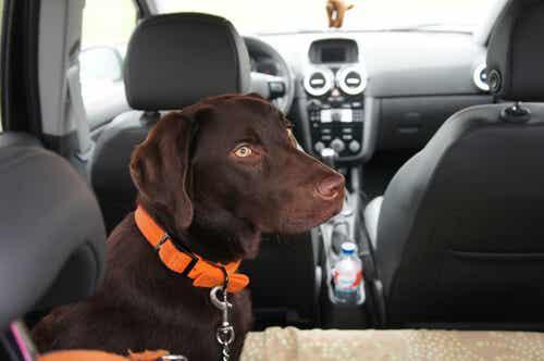 Liikenneturvallisuus: miksi koiran turvavyö on tärkeä?