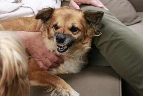 Onko koirasi aggressiivinen? Syynä ei ole sen luonne