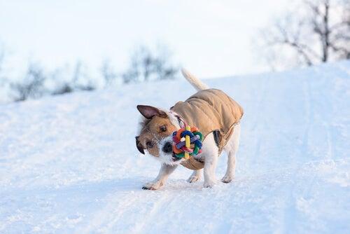 Miksi koira ravistelee leluja?