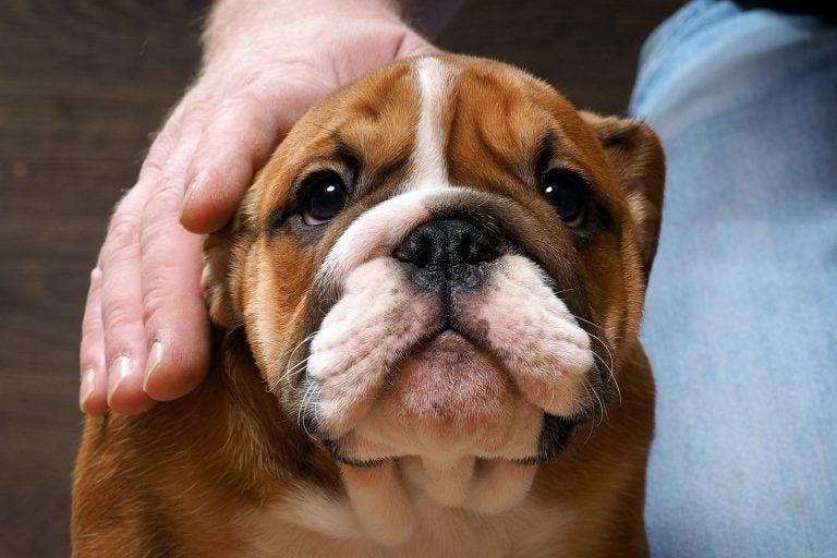 Koiran silmien puhdistaminen rähmästä