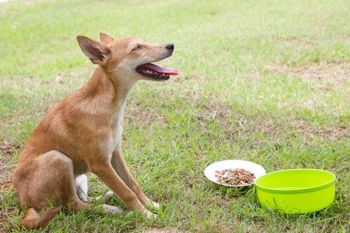 Kuinka hoitaa koiran oksentelu terveellisesti?