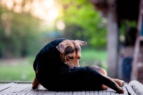 Mikä on koiran nuolugranulooma ja miten sitä hoidetaan?