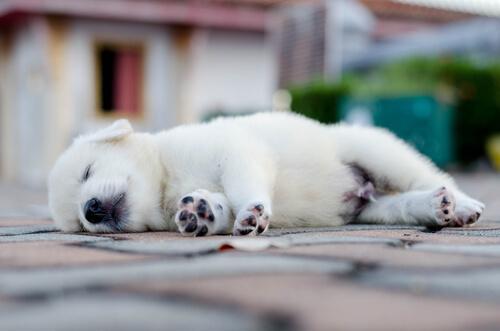 Tapa nukkua kertoo koiran luonteesta