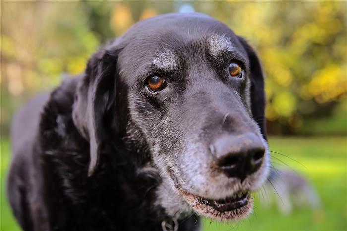 Koiran ikääntymisen merkit