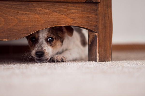 Koiraa pelkää – 4 eläimen paniikkiin ajavaa asiaa