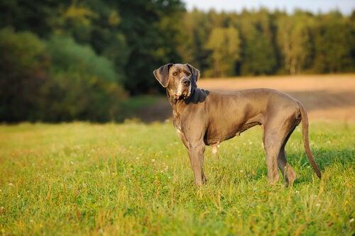 Tanskandoggi puistossa