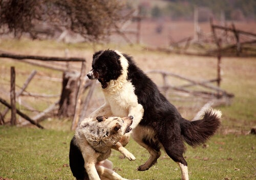 Tappelevat koirat