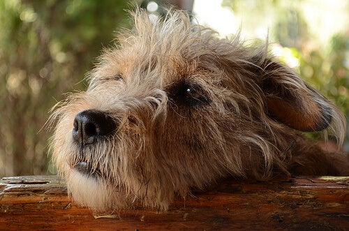 Tuntevatko koirat syyllisyyttä pahoista teoistaan?