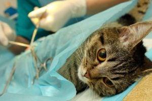 Kissa leikkauksessa