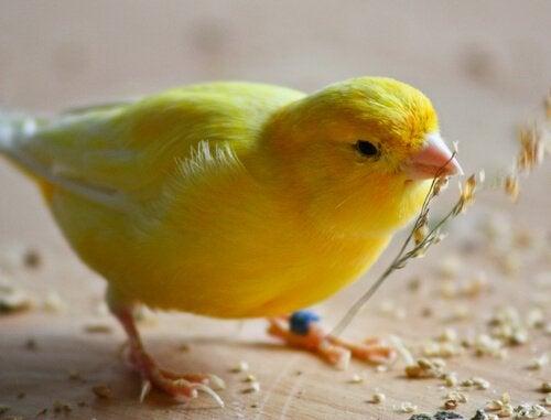 Kanarialinnun ruokinta pähkinänkuoressa