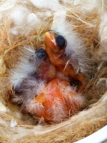 Kanarialinnun poikaset