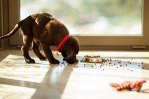 Koira syö ruokaa lattialta