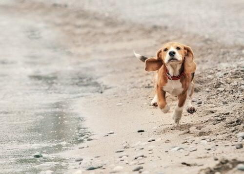 Koira juoksee rannalla