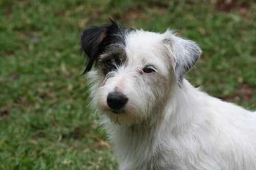Koiran viestintä: 5 rauhoittavaa signaalia