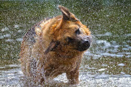 Miksi koira ravistelee itseään?