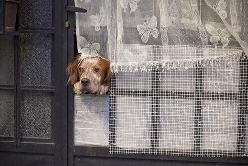 Koira yksin kotona