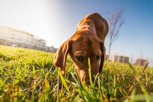 Koira nuuskii heinää
