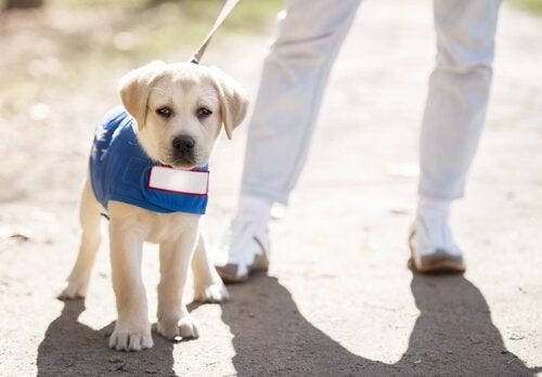 Koiranpentu kävelyllä