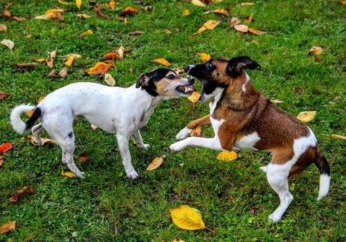 Koirien välisen tappelun keskeyttäminen