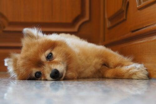 Kuinka toimia, kun koiranpentu itkee öisin?